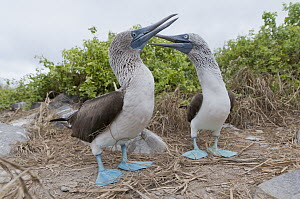 Blue-footed Booby (Sula nebouxii) pair courting using symbolic nest building material, Galapagos Islands, Ecuador. Sequence 3 of 3  -  Tui De Roy