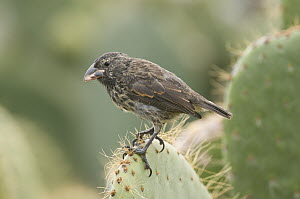 Medium Ground-Finch (Geospiza fortis) on cactus, Galapagos Islands, Ecuador - Steve Gettle