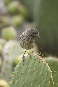Sharp-beaked Ground-Finch (Geospiza difficilis) female on cactus, Galapagos Islands, Ecuador - Steve Gettle
