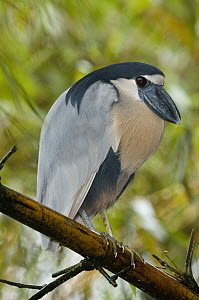 Boat-billed Heron (Cochlearius cochlearius), Costa Rica  -  Steve Gettle