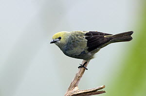 Blue-gray Tanager (Thraupis episcopus) female, Costa Rica  -  Steve Gettle
