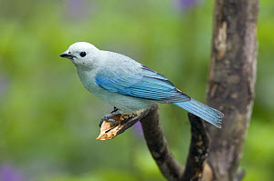 Blue-gray Tanager (Thraupis episcopus) male, Costa Rica  -  Steve Gettle