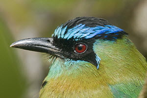 Blue-crowned Motmot (Momotus momota), Costa Rica  -  Steve Gettle