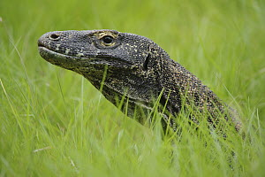 Komodo Dragon (Varanus komodoensis) in grass, Nusa Tenggara, Indonesia - Chien Lee