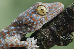 Tokay Gecko (Gecko gecko) juvenile showing vertical pupil, Uthai Thani, Thailand - Chien Lee