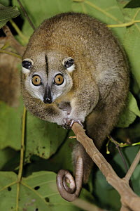 Moluccan Cuscus (Phalanger ornatus), Halmahera Island, North Maluku, Indonesia - Chien Lee
