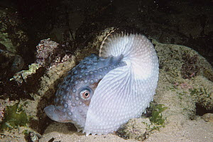 Paper Nautilus (Argonauta nodosa) on sand bottom, Port Phillip Bay, Victoria, Australia - D. Parer & E. Parer-Cook