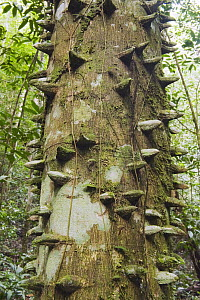 Yellow Prickle (Zanthoxylum monophyllum) with spikes on trunk in lowland rainforest, Los Haitises National Park, Dominican Republic - Kevin Schafer