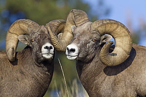 Bighorn Sheep (Ovis canadensis) rams play-fighting, Mission Valley, western Montana  -  Donald M. Jones