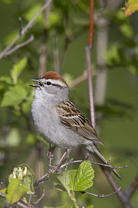 Chipping Sparrow (Spizella passerina) calling, Troy, Montana  -  Donald M. Jones