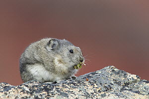 Collared Pika (Ochotona collaris) feeding on vegetation, Denali National Park, Alaska  -  Donald M. Jones