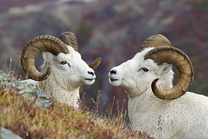 Dall's Sheep (Ovis dalli) rams, Denali National Park, Alaska  -  Donald M. Jones