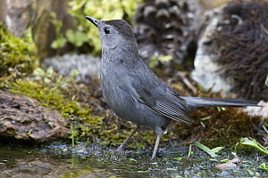 Gray Catbird (Dumetella carolinensis) bathing, Troy, Montana - Donald M. Jones