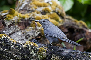 Gray Catbird (Dumetella carolinensis) carrying worm, Troy, Montana - Donald M. Jones