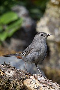 Gray Catbird (Dumetella carolinensis), Troy, Montana - Donald M. Jones