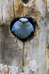 Mountain Bluebird (Sialia currucoides) male in nest cavity, Troy, Montana - Donald M. Jones