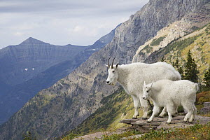 Mountain Goat (Oreamnos americanus) mother and kid, Glacier National Park, Montana  -  Donald M. Jones