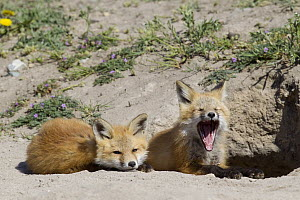 Red Fox (Vulpes vulpes) pups at den with one yawning, Mission Valley, western Montana  -  Donald M. Jones