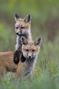 Red Fox (Vulpes vulpes) pups playing, Mission Valley, western Montana  -  Donald M. Jones