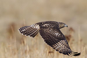 Red-tailed Hawk (Buteo jamaicensis) flying, Mission Valley, western Montana  -  Donald M. Jones