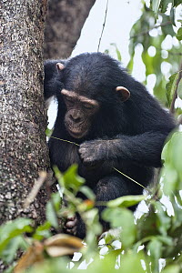 Chimpanzee (Pan troglodytes) young fishing for ants with stick, Mahale Mountains National Park, Tanzania - Konrad Wothe
