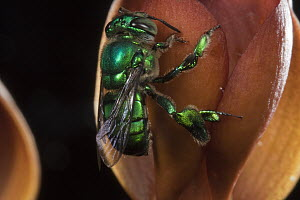 Orchid Bee (Euglossa sp) male visiting Orchid (Mormodes sp) flower - Mark Moffett