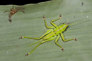 Katydid (Copiphora gracilis) nymph and spider, Yasuni National Park, Amazon, Ecuador - Pete Oxford