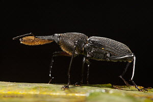 Bearded Weevil (Rhinostomus barbirostris), Yasuni National Park, Amazon, Ecuador  -  Pete Oxford