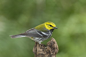 Black-throated Green Warbler (Setophaga virens) male, Rio Grande Valley, Texas  -  Tom Vezo