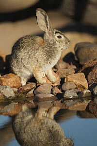 Desert Cottontail (Sylvilagus audubonii) at waterhole, Santa Rita Mountains, Arizona - Tom Vezo