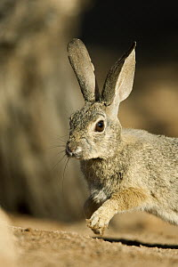 Desert Cottontail (Sylvilagus audubonii) running, Santa Rita Mountains, Arizona - Tom Vezo