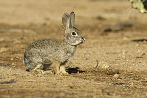 Desert Cottontail (Sylvilagus audubonii), Santa Rita Mountains, Arizona - Tom Vezo