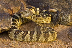 Black-tailed Rattlesnake (Crotalus molossus) in defensive posture, Arizona - Tom Vezo