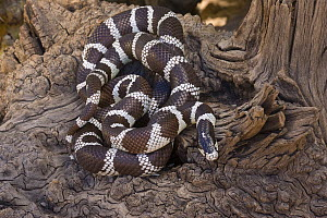 Common Kingsnake (Lampropeltis getulus), Arizona  -  Tom Vezo