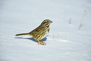 Song Sparrow (Melospiza melodia) on snow, Long Island, New York  -  Tom Vezo