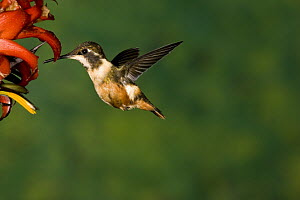 White-bellied Woodstar (Chaetocercus mulsant) hummingbird feeding on flower nectar  -  Tom Vezo