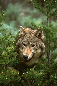 Wolf (Canis lupus), North America  -  Tom Vezo