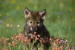 Wolf (Canis lupus) pup, Montana  -  Tom Vezo