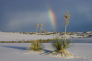 Soaptree Yucca (Yucca elata) and rainbow, White Sands National Park, New Mexico  -  Tom Vezo