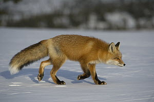 Red Fox (Vulpes vulpes) walking in snow, Alaska  -  Michael Quinton
