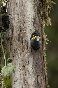 Plate-billed Mountain-Toucan (Andigena laminirostris) in nest cavity, western Andes, Ecuador  -  Murray Cooper