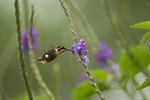 White-bellied Woodstar (Chaetocercus mulsant) hummingbird female feeding on flower nectar, Andes, Ecuador  -  Murray Cooper
