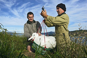 Northern Royal Albatross (Diomedea sanfordi) chick being weighed by researchers, Taiaroa Head, Otago, New Zealand  -  Stephen Belcher