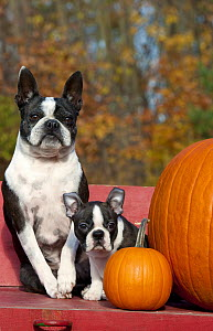 Boston Terrier (Canis familiaris) mother and puppy with pumpkins - Mark Raycroft