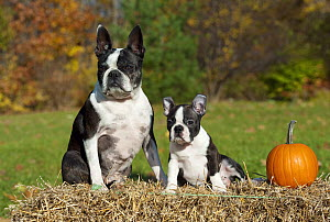 Boston Terrier (Canis familiaris) mother and puppy on hay bale with pumpkin - Mark Raycroft