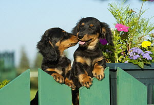 Miniature Long Haired Dachshund (Canis familiaris) puppies on fence  -  Mark Raycroft