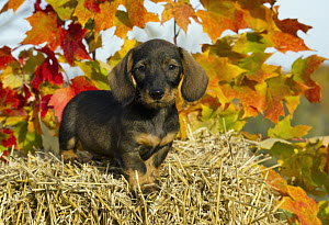 Miniature Wire-haired Dachshund (Canis familiaris) puppy on hay bale with autumn leaves - Mark Raycroft