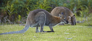 Red-necked Wallaby (Macropus rufogriseus) pair, Tasmania, Australia  -  Martin Willis