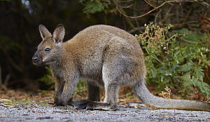 Red-necked Wallaby (Macropus rufogriseus), Tasmania, Australia  -  Martin Willis