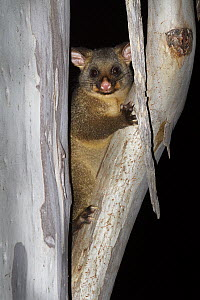 Common Brush-tailed Possum (Trichosurus vulpecula) in tree at night, Bruny Island, Tasmania, Australia - Martin Willis